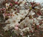 m桜アップ2016-03-29 16.36.02-2