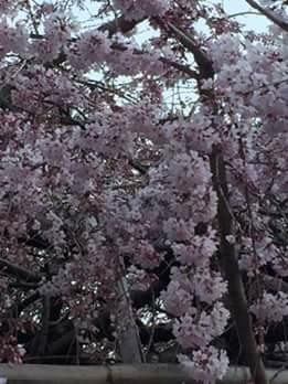 20170325桜